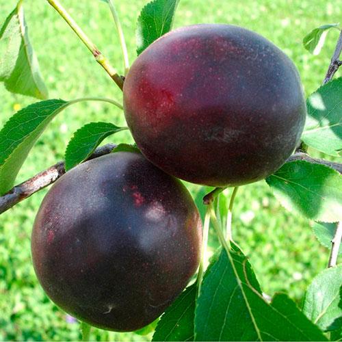 Слива-абрикос