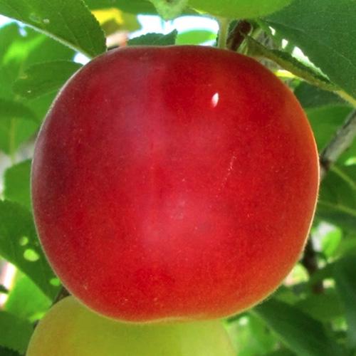 Бірікокколо (абрикос+слива)
