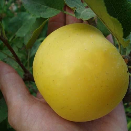 Саджанці яблуні Богемія голд