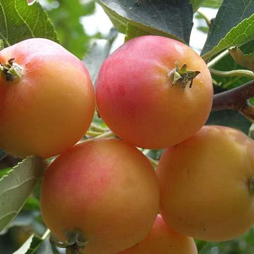 Яблуня райська