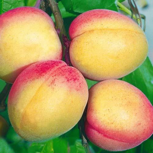 Саджанці абрикоса Фелпс