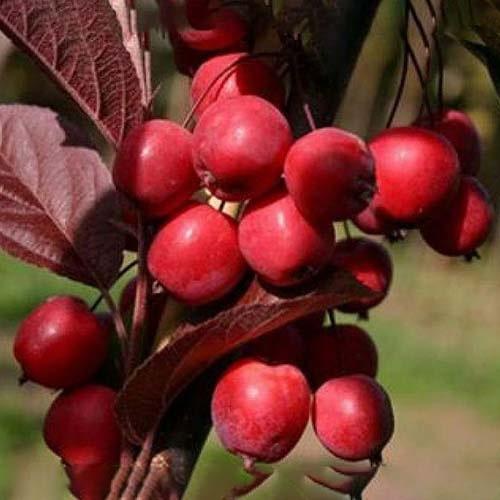 Яблуня райська червонолиста (ЗКС)