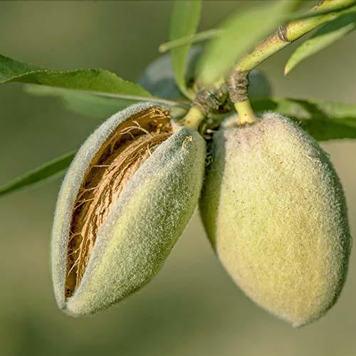 Мигдаль плодовий