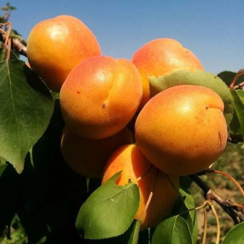 Саджанці абрикоса Поліський крупноплідний