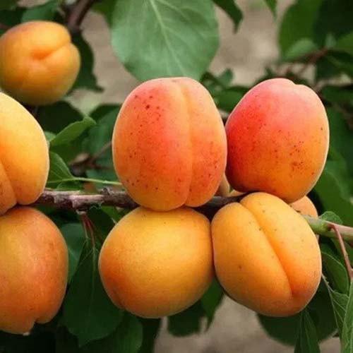 Саджанці абрикоса Претендент