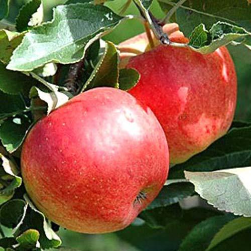 Яблуня
