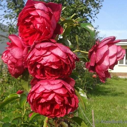 Саджанці троянди Соул