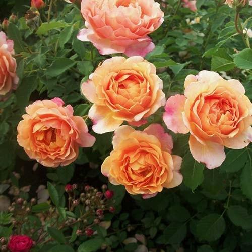 Саджанці троянди Зоненвельт